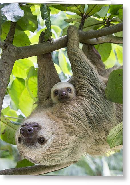 Hoffmanns Two-toed Sloth And Old Baby Greeting Card by Suzi Eszterhas