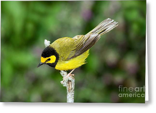Hooded Warbler Greeting Card by Anthony Mercieca