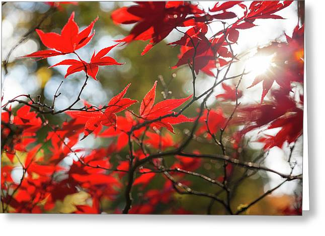 Japanese Maple In Autumn Color Greeting Card by Peter Adams