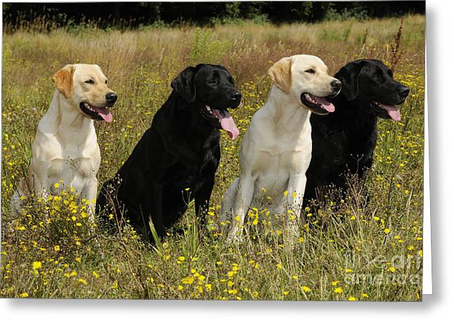 Breeds Greeting Cards - Labrador Retriever Dogs Greeting Card by John Daniels