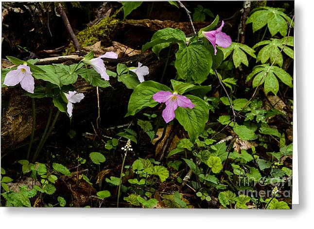 Three Leaves Greeting Cards - Large Flowered Trillium  Greeting Card by Thomas R Fletcher
