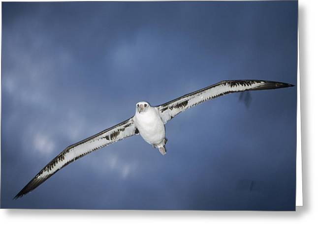 Diomedeidae Greeting Cards - Laysan Albatross Flying Midway Atoll Greeting Card by Tui De Roy