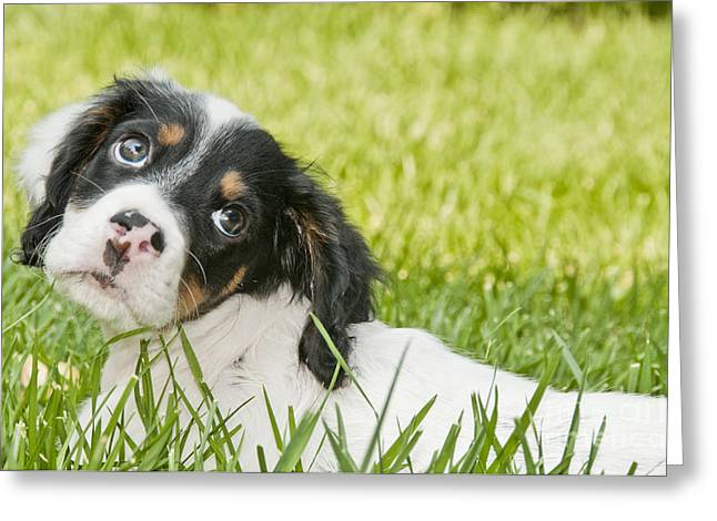 Gun Dog Greeting Cards - Llewellyn Setter Puppy Greeting Card by William H. Mullins