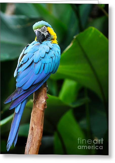 Hungry Fly Greeting Cards - Macaw  Greeting Card by Anek Suwannaphoom
