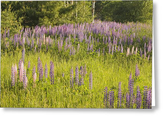 Maine Spring Greeting Cards - Maine Wild Lupine Flowers Greeting Card by Keith Webber Jr