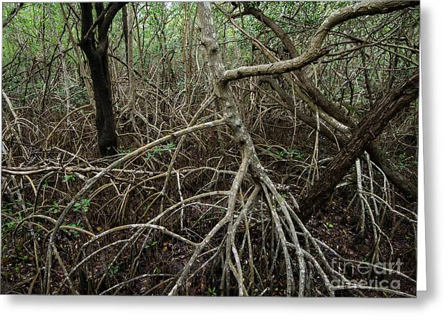 Mangrove Forest Greeting Cards - Mangrove Roots Greeting Card by Tracy Knauer