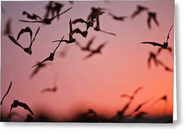 Mexican Free-tailed Bats (tadarida Greeting Card by Larry Ditto