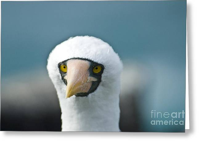 Nazca Greeting Cards - Nazca Booby Greeting Card by William H. Mullins