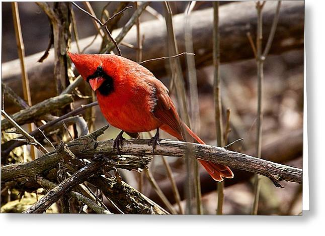 Ferrin Greeting Cards - Northern Cardinal Male Greeting Card by Dan Ferrin