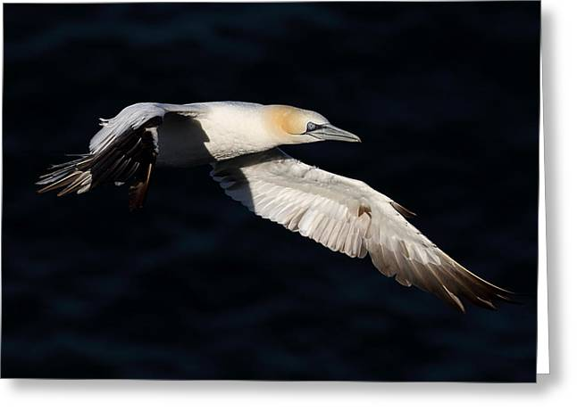 Northern Gannet Greeting Card by Grant Glendinning