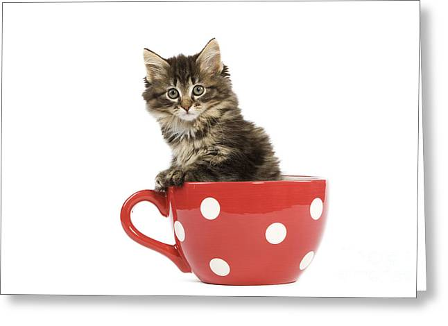 Red And Tea Greeting Cards - Norwegian Forest Kitten Greeting Card by Jean-Michel Labat