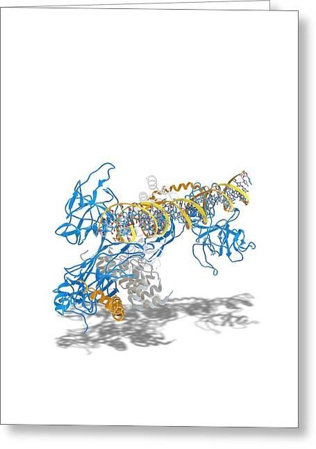 Dna Binding Protein Greeting Cards - Notch transcription, molecular model Greeting Card by Science Photo Library