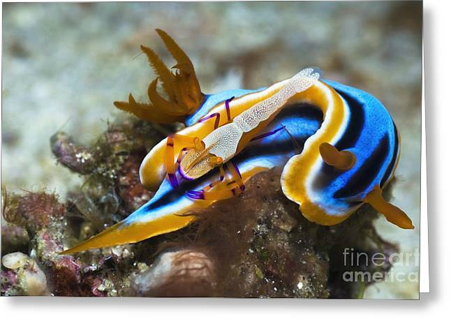 Opisthobranch Greeting Cards - Nudibranch And Emperor Shrimp Greeting Card by Georgette Douwma