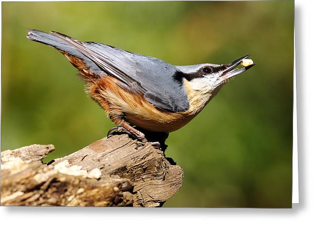 Small Birds Greeting Cards - Nuthatch Greeting Card by Grant Glendinning