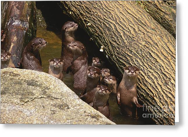 Rearing Up Greeting Cards - Oriental Small-clawed Otter Greeting Card by Art Wolfe