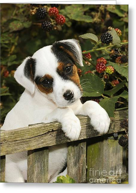 Head Tilt Greeting Cards - Parson Russell Terrier Puppy Greeting Card by John Daniels