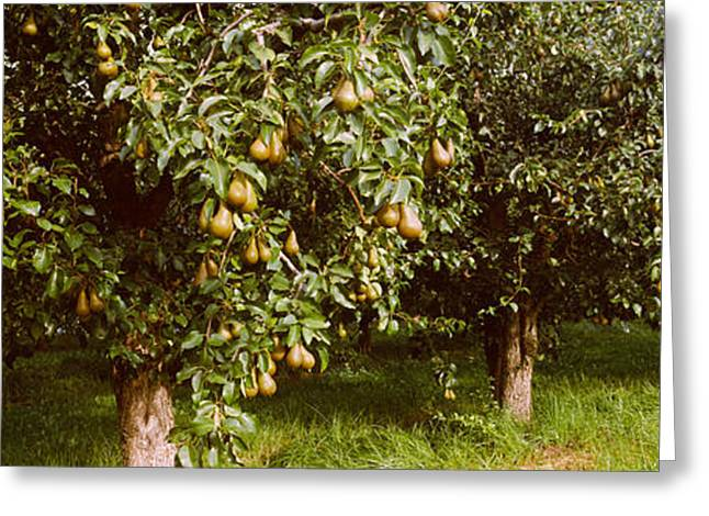 Hood River Greeting Cards - Pear Trees In An Orchard, Hood River Greeting Card by Panoramic Images