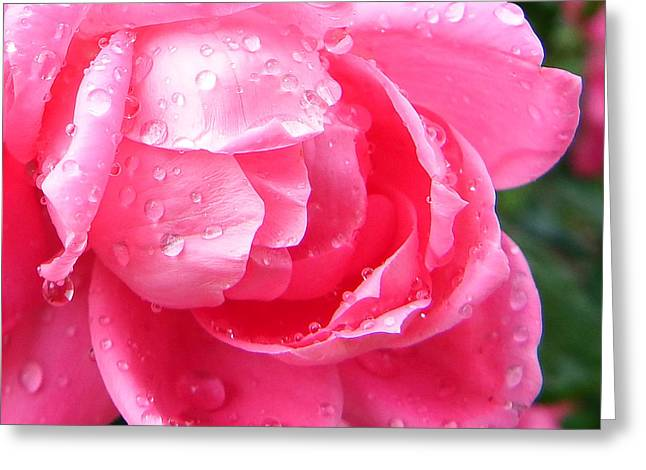 Knockout Digital Greeting Cards - Pink Double Knockout Rose Greeting Card by David G Paul