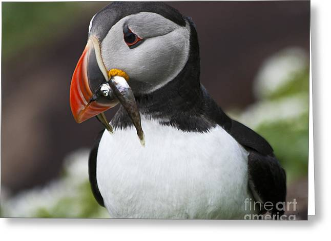 Zoologic Greeting Cards - Puffin with fish Greeting Card by Heiko Koehrer-Wagner