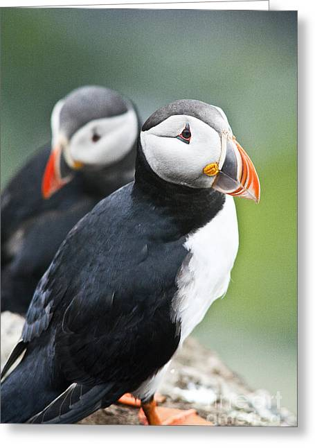 Zoologic Greeting Cards - Puffins Greeting Card by Heiko Koehrer-Wagner