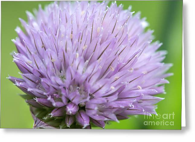 Green Chives Greeting Cards - Purple Chive Flower Greeting Card by Iris Richardson