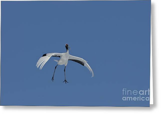 Asian Wildlife Greeting Cards - Red-crowned Crane Greeting Card by John Shaw