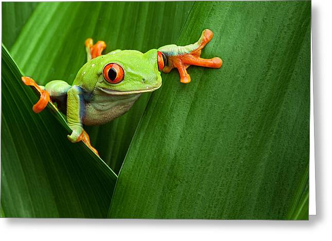 Tree Frog Greeting Cards - Red Eyed Tree Frog  Greeting Card by Dirk Ercken