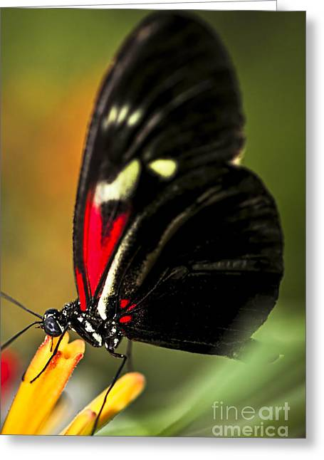 Stamen Greeting Cards - Red heliconius dora butterfly Greeting Card by Elena Elisseeva