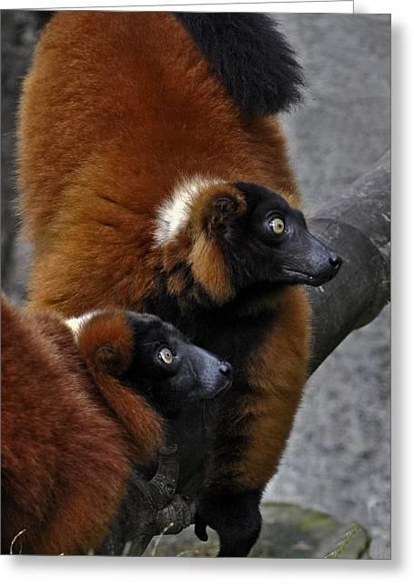 Red-ruffed Lemur Greeting Cards - Red-ruffed Lemur Greeting Card by Winston D Munnings