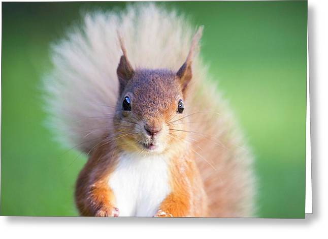 Red Squirrel At Haweswater Greeting Card by Ashley Cooper