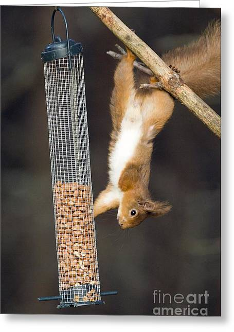 Tufted Ears Greeting Cards - Red Squirrel Greeting Card by Duncan Shaw