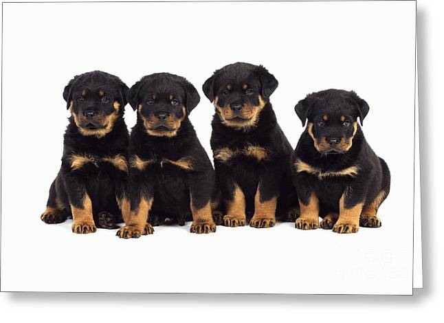 Rottweiler Puppy Greeting Cards - Rottweiler Puppy Dogs Greeting Card by John Daniels
