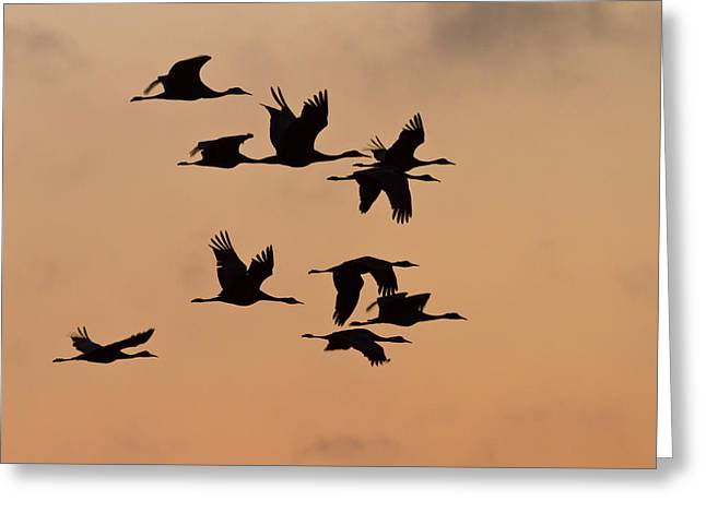 Sandhill Cranes (grus Canadensis Greeting Card by William Sutton