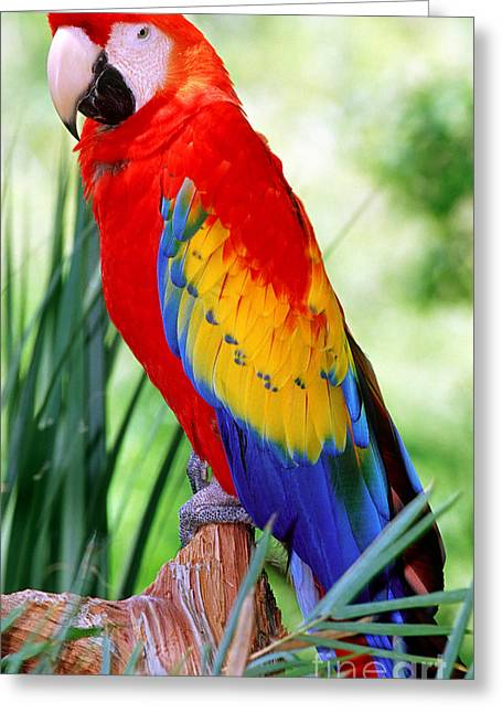 Scarlet Macaw Greeting Cards - Scarlet Macaw Greeting Card by Millard H. Sharp