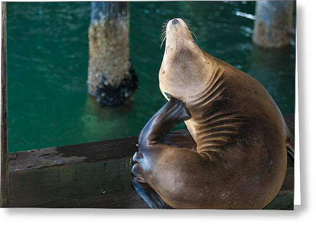 California Sea Lions Greeting Cards - Sea Lions at Rest Greeting Card by Joseph Salazar