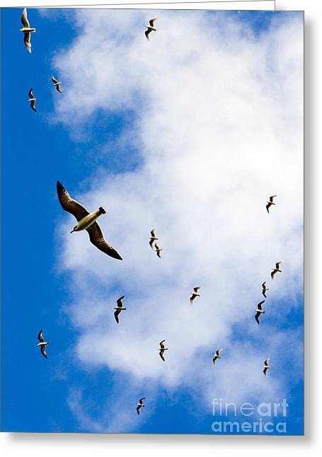 Flying Seagull Greeting Cards - Seagulls Greeting Card by Tim Holt