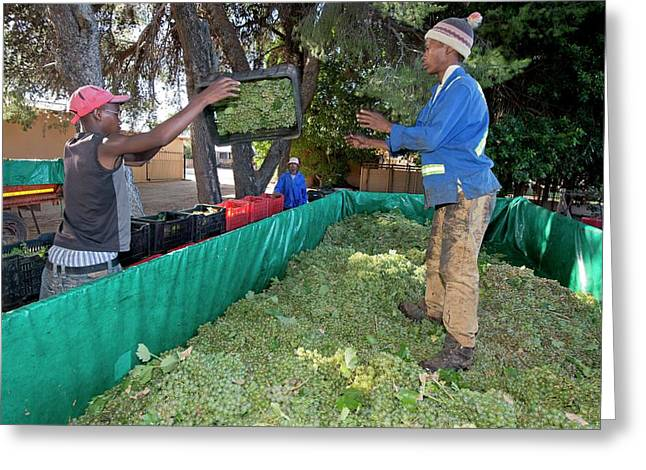 Seasonal Workers Harvesting Grapes Greeting Card by Tony Camacho