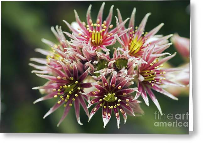 Sempervivum Greeting Cards - Sempervivum Collecteur Anchisi Greeting Card by Dr. Keith Wheeler