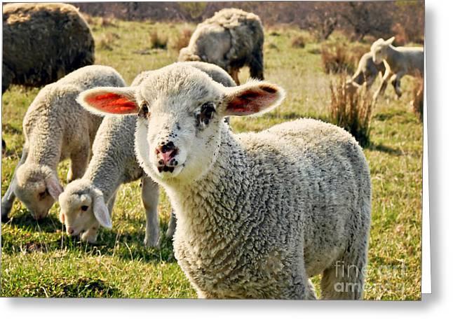 Shepherds Greeting Cards - Sheep Greeting Card by Dan Radi