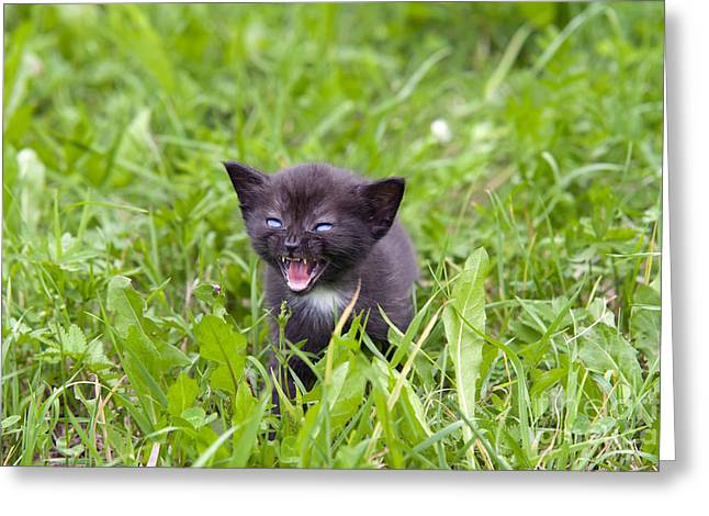 Furious Greeting Cards - Small Kitten In The Grass Greeting Card by Michal Boubin