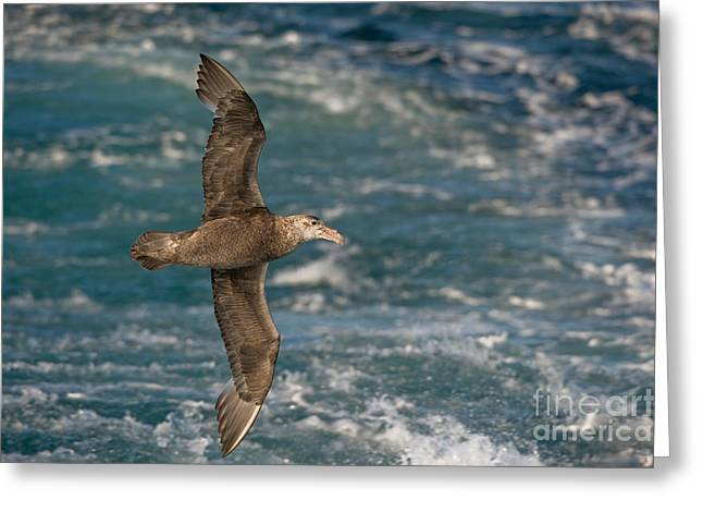 Flying Animal Greeting Cards - Southern Giant Petrel Greeting Card by John Shaw