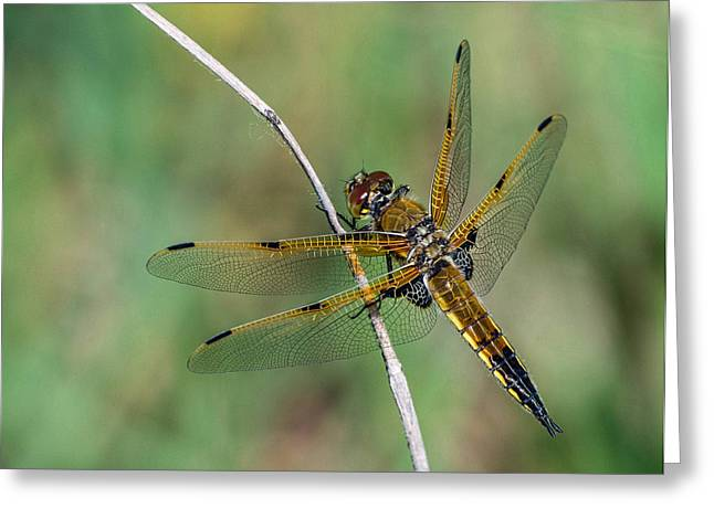 Predaceous Greeting Cards - 4-Spotted Chaser Greeting Card by Jim Zablotny