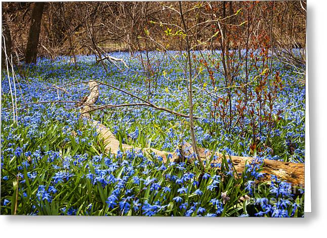 Carpet Photographs Greeting Cards - Spring blue flowers wood squill Greeting Card by Elena Elisseeva