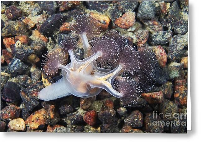 Jelly Fish Greeting Cards - Stalked Jellyfish Greeting Card by Alexander Semenov