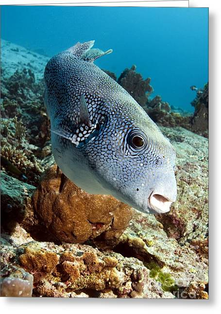 Puffer Greeting Cards - Star Puffer Greeting Card by Georgette Douwma