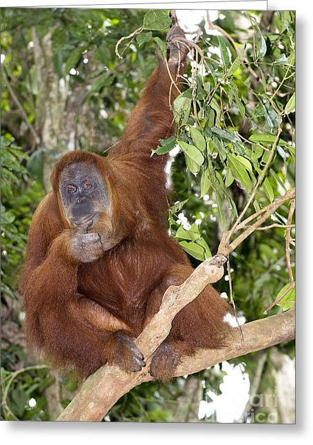 Sumatran Orang-utan Greeting Cards - Sumatran Orangutan Greeting Card by Tony Camacho