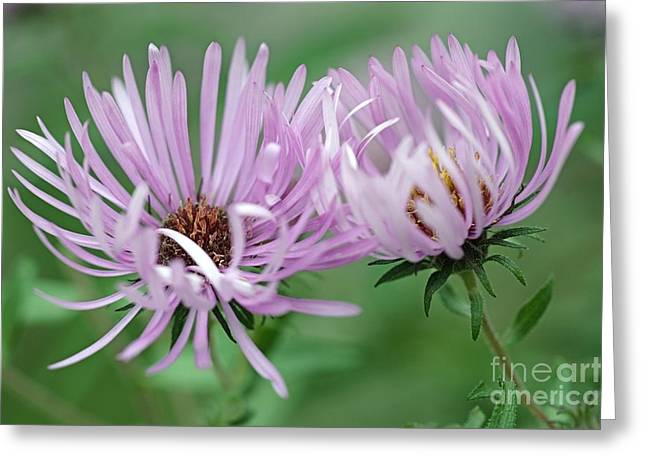Aster Greeting Cards - Symphyotrichum Novae-angliae Greeting Card by Dr. Nick Kurzenko