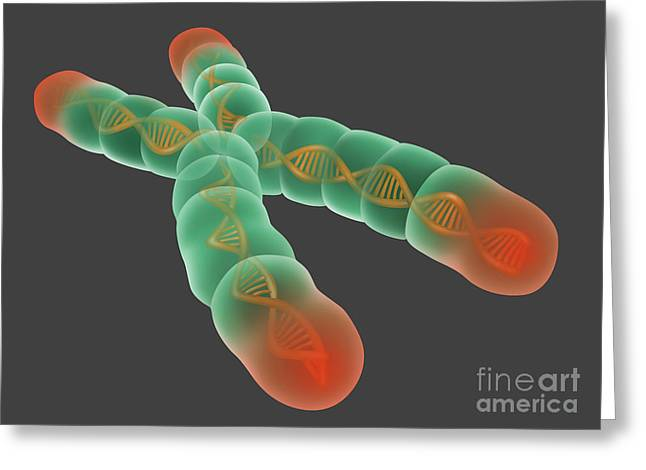 Nucleoprotein Greeting Cards - Telomere, Illustration Greeting Card by Gwen Shockey