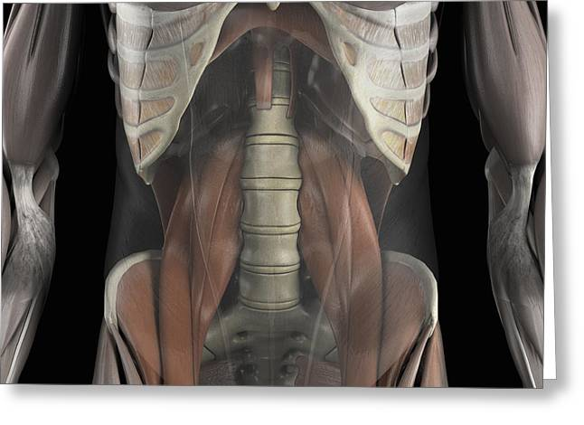 Skeletal Muscle Greeting Cards - The Psoas Muscles Greeting Card by Science Picture Co