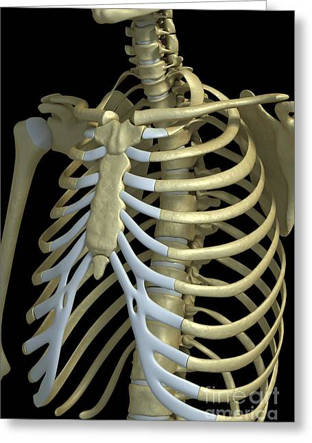 Notched Collar Greeting Cards - The Rib Cage Greeting Card by Science Picture Co